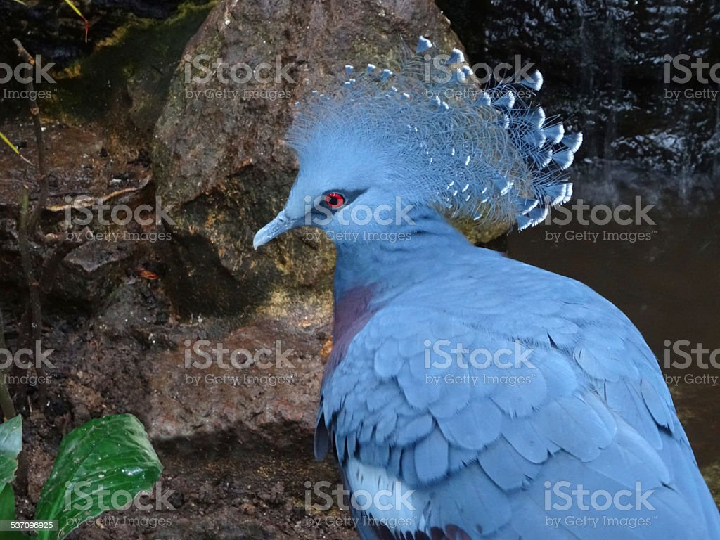 Image of grey Victoria crowned pigeon with crest (Goura Victoria) stock photo