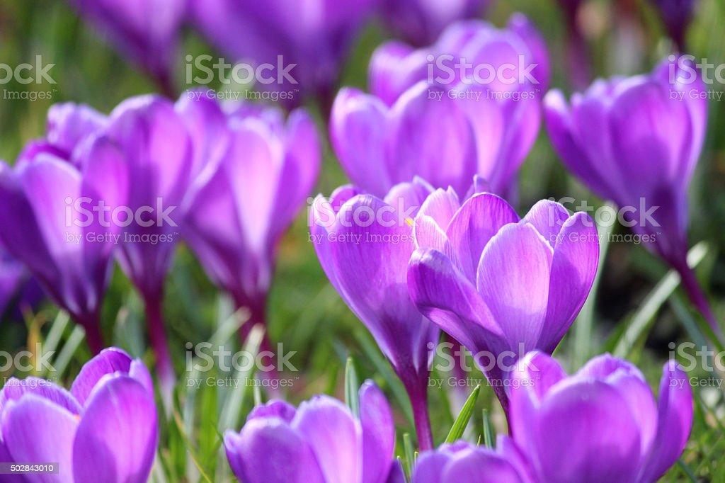 Image of group of purple crocus-flowers blooming in sunny garden stock photo