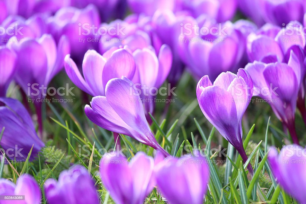 Image of group of purple crocus-flowers blooming on sunny lawn stock photo