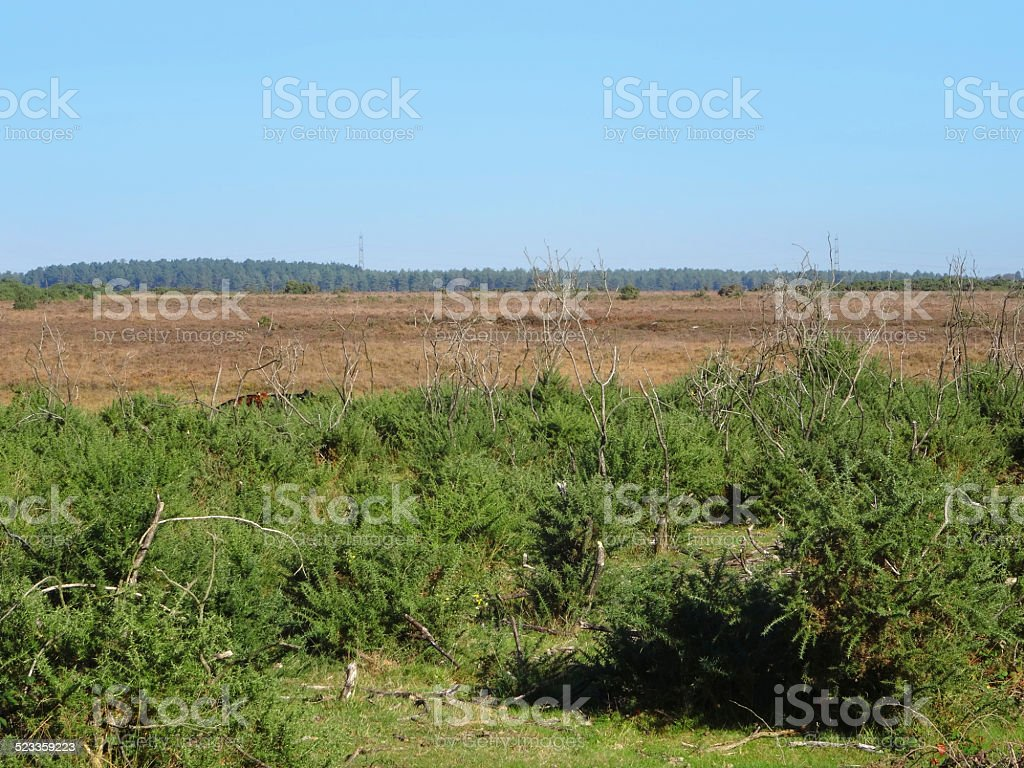 Image of heathland, heathers (ericas) and gorse bushes, New Forest stock photo