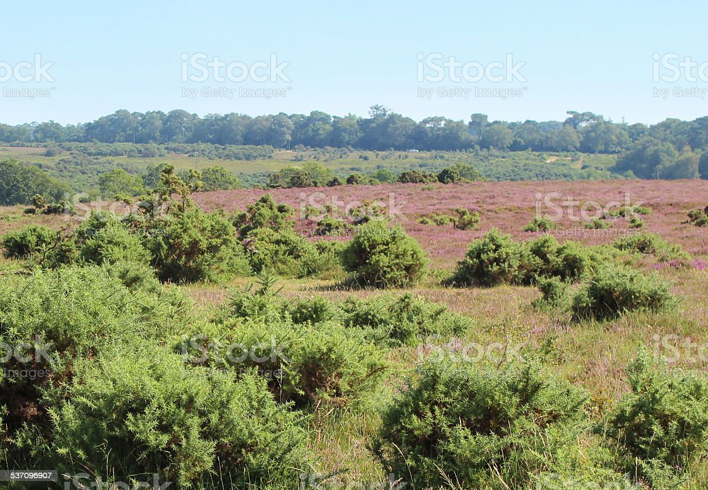 Image of heathland with flowering heathers (ericas) / gorse bushes, New-Forest stock photo