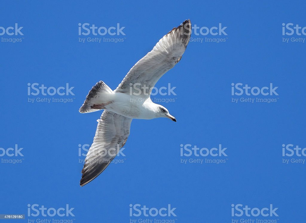 Image of Herring gull / isolated seagull flying in blue sky stock photo