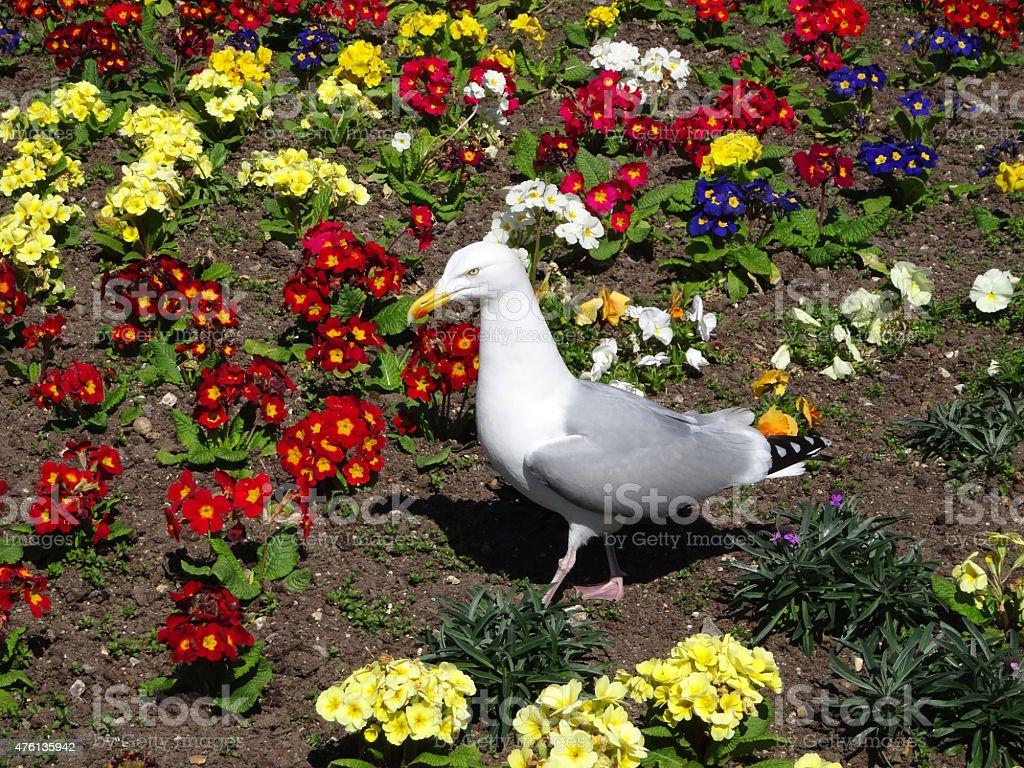 Image of Herring gull / seagull standing in primrose flower bed stock photo