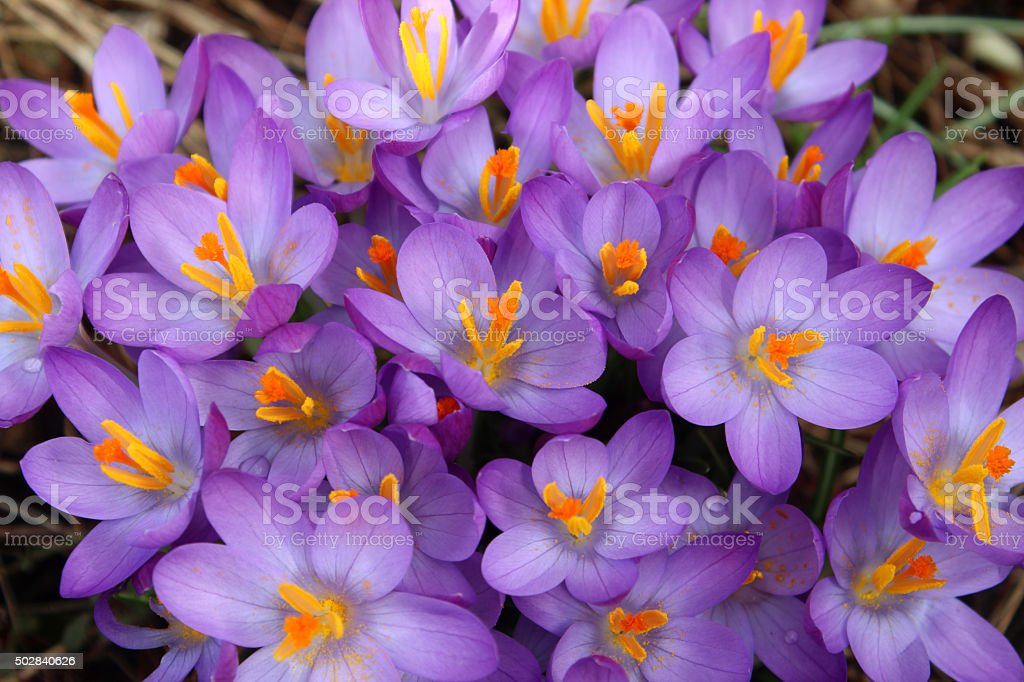 Image of high angle view purple crocuses with yellow stamens stock photo
