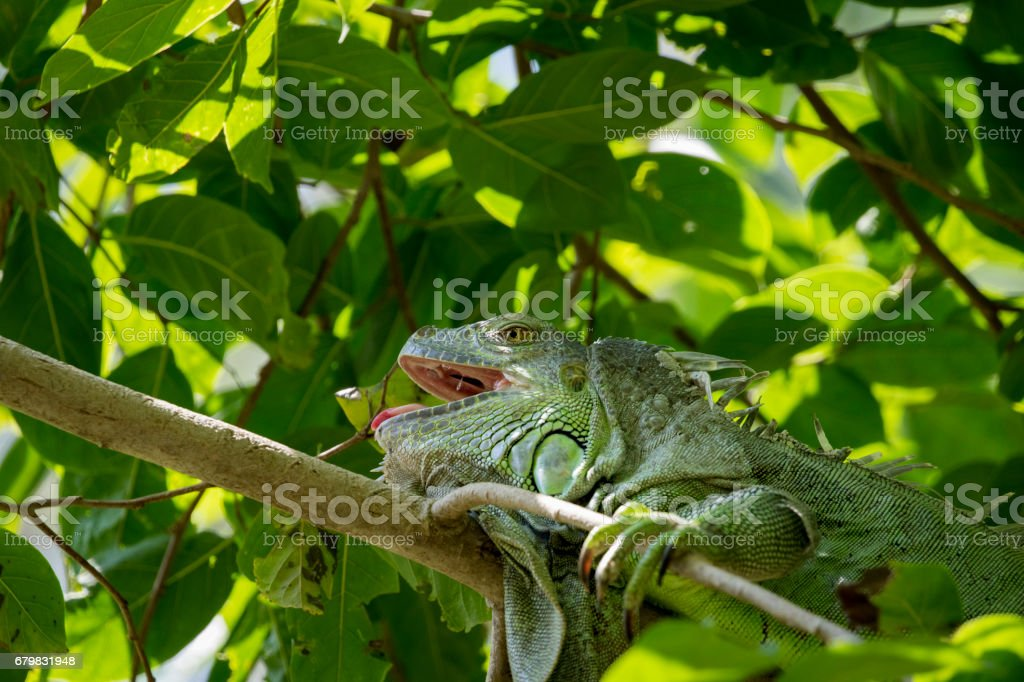 Image of iguana on the tree. Reptile Animals.