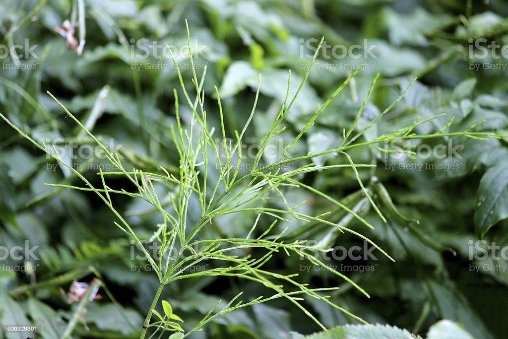 Image of invasive field horsetail weed in garden (Equisetum arvense) stock photo