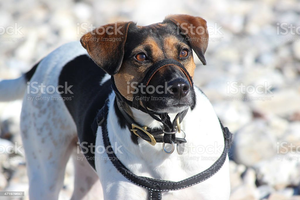 Image of Jack Russell terrier dog harness, muzzle lead, collar stock photo