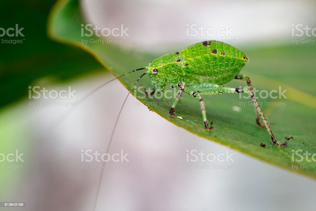 Image of Katydid Nymph Grasshoppers on green leaves. Insect Animal