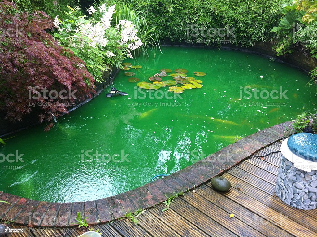 Image of koi pond with green water after fungus medication stock photo