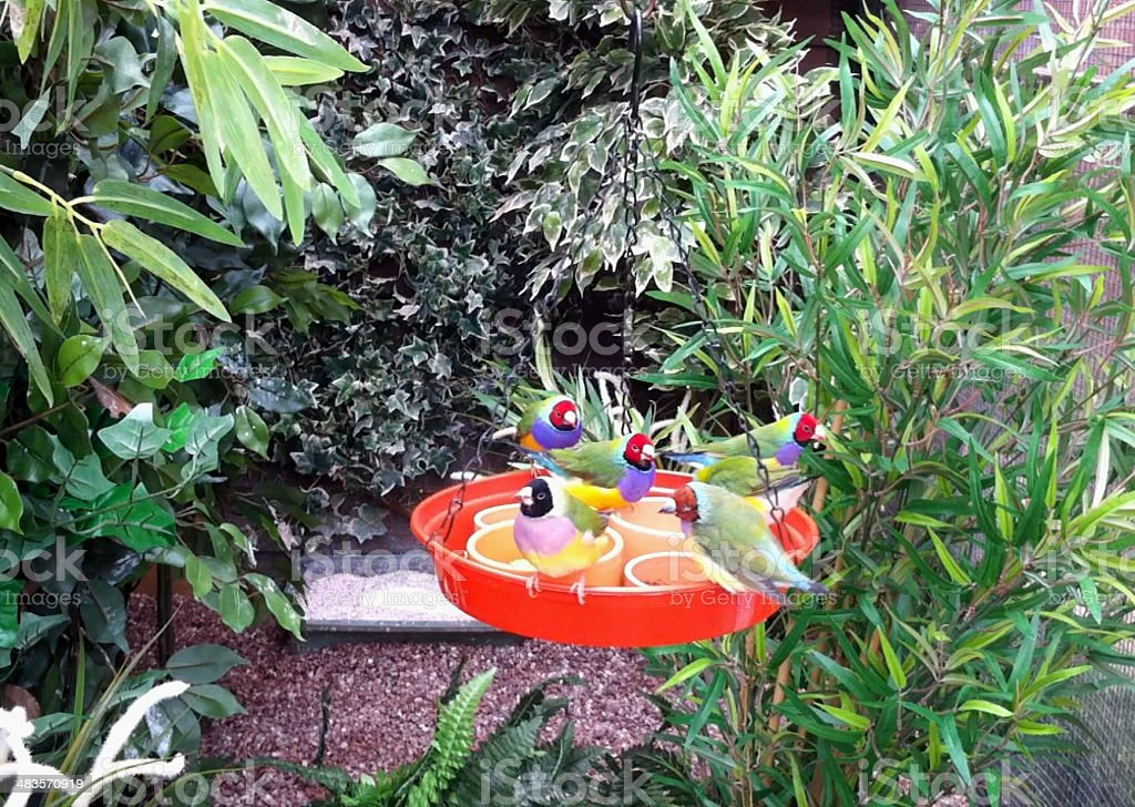 Image of Lady Gouldian finches feeding in a planted aviary royalty-free stock photo