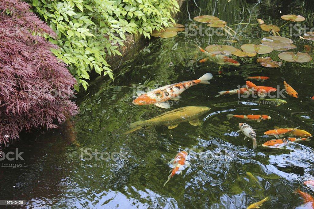 imagen del gran carpa koi del estanque del jardn japons de lactancia foto de stock libre