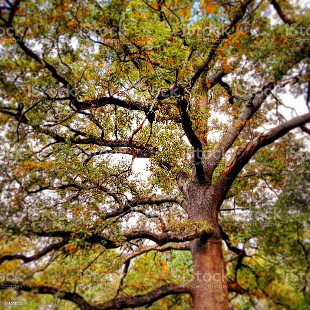 image of large old tree, bottom up view stock photo