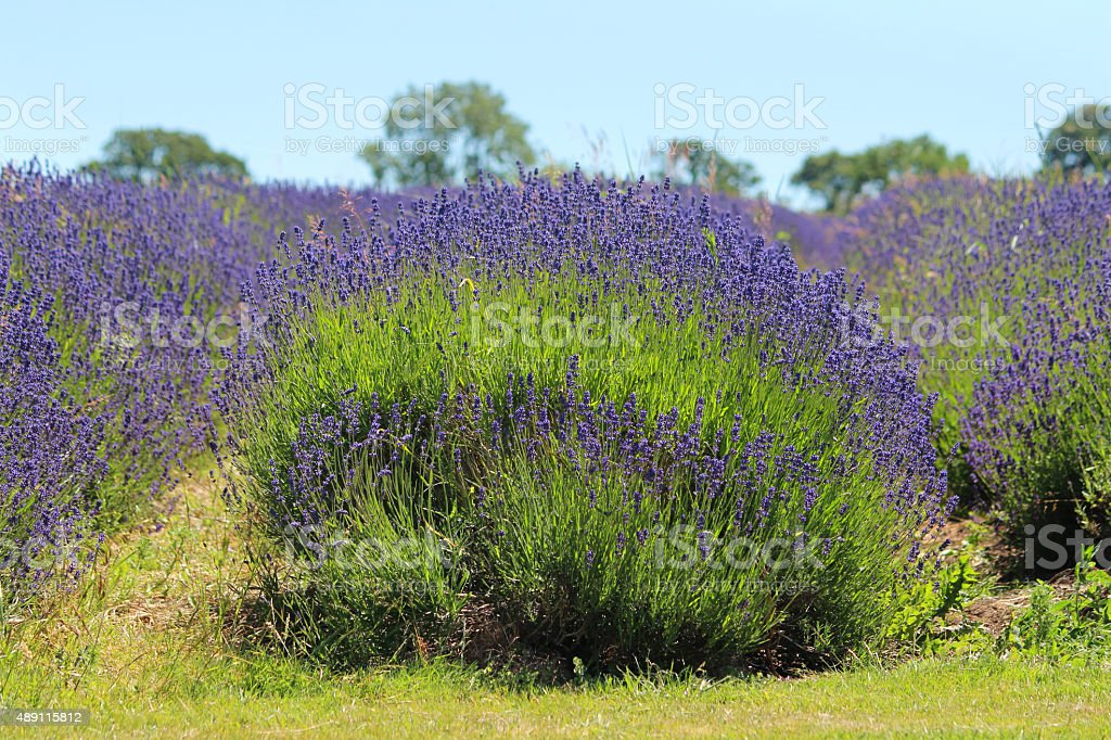 Image of lavender-farm with rows of clipped lavandula plants, purple-flowers stock photo