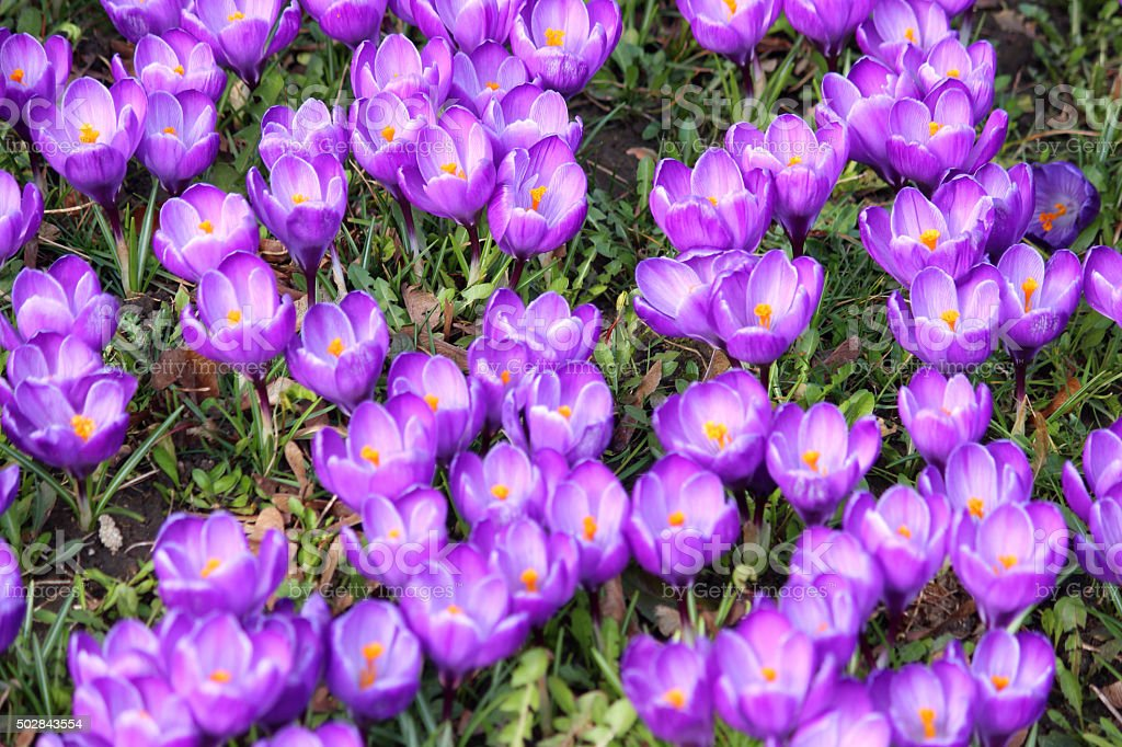 Image of lawn covered in purple flowering crocus in spring stock photo