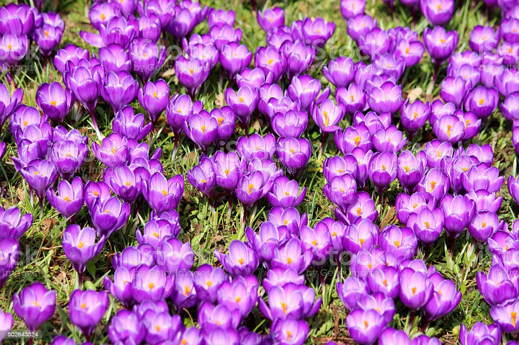 Image of lawn full of purple crocus in spring stock photo