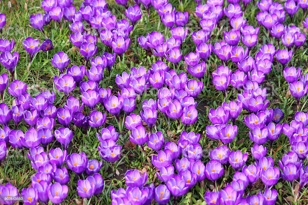 Image of lawn full of purple crocuses in springtime stock photo
