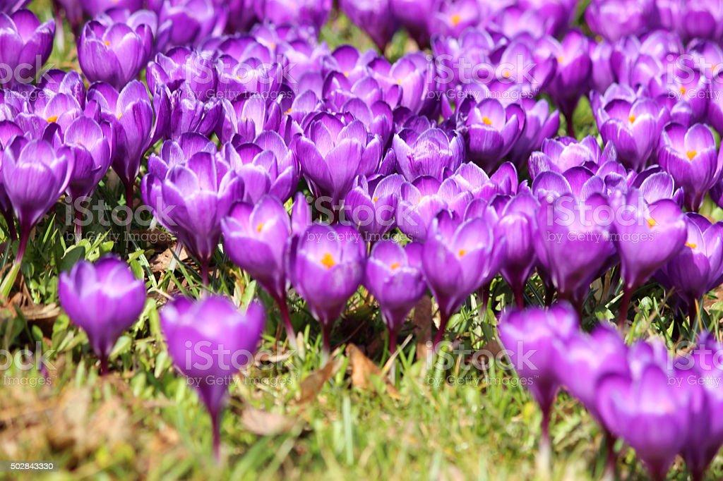Image of lawn of purple flowering crocuses in spring sunshine stock photo