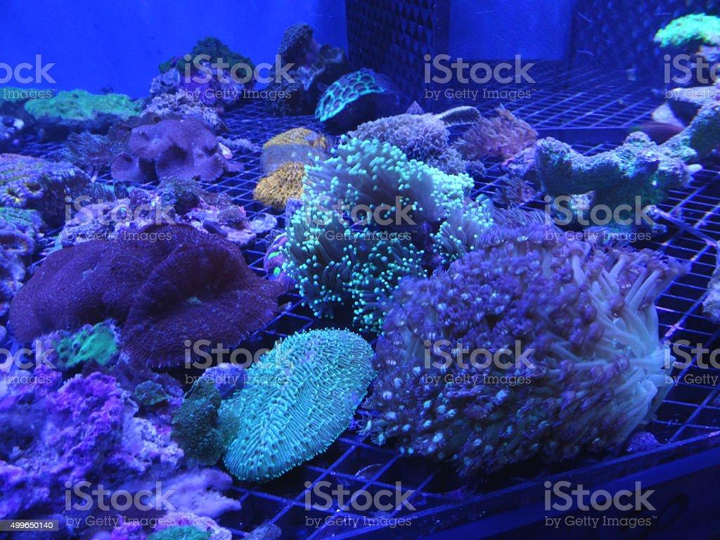 Image of living coral being farmed under lights, marine-aquarium fish-tank stock photo