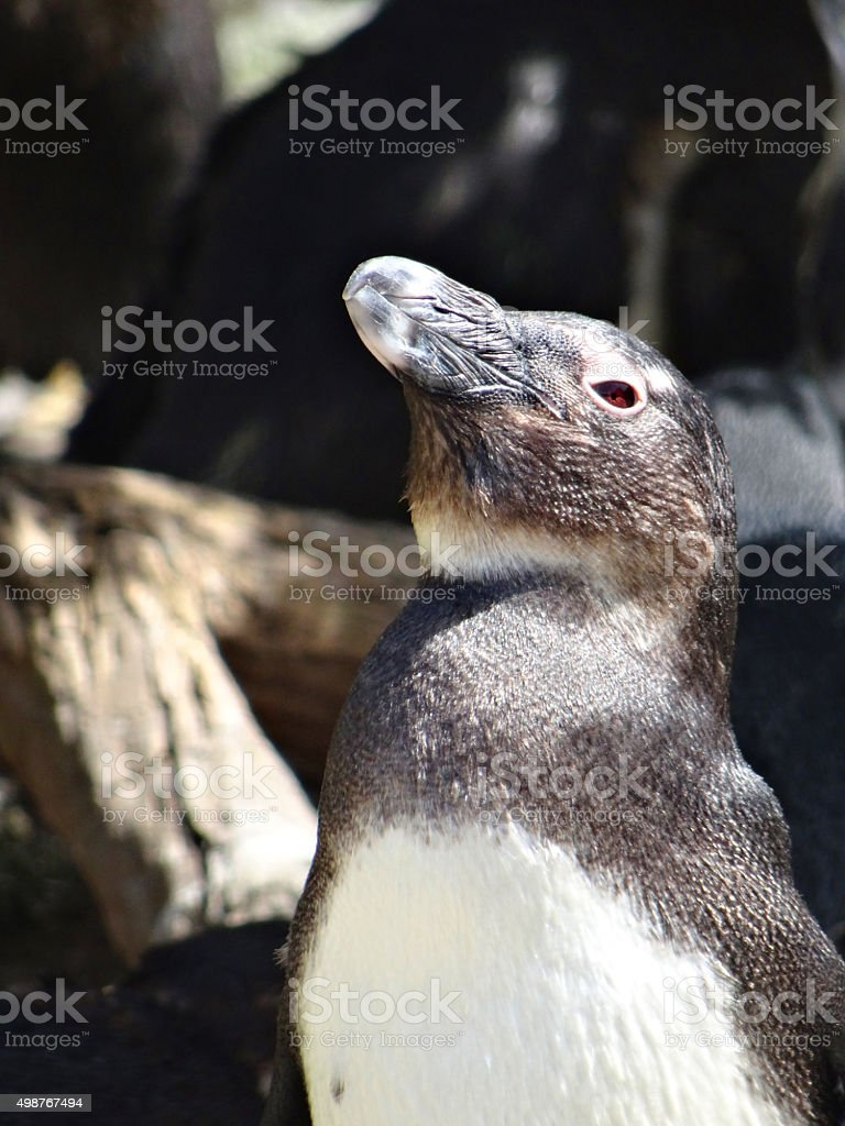 Image of lonely African penguin in sun, natural rocks in background stock photo