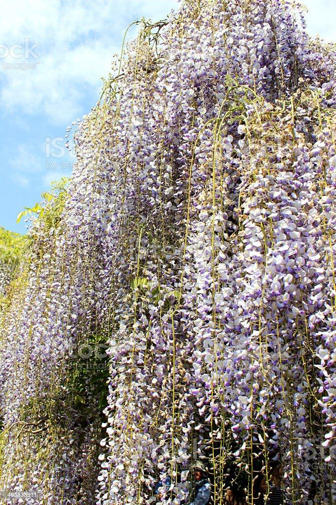 Image of long purple Chinese wisteria flowers (variety: wisteria floribunda) stock photo