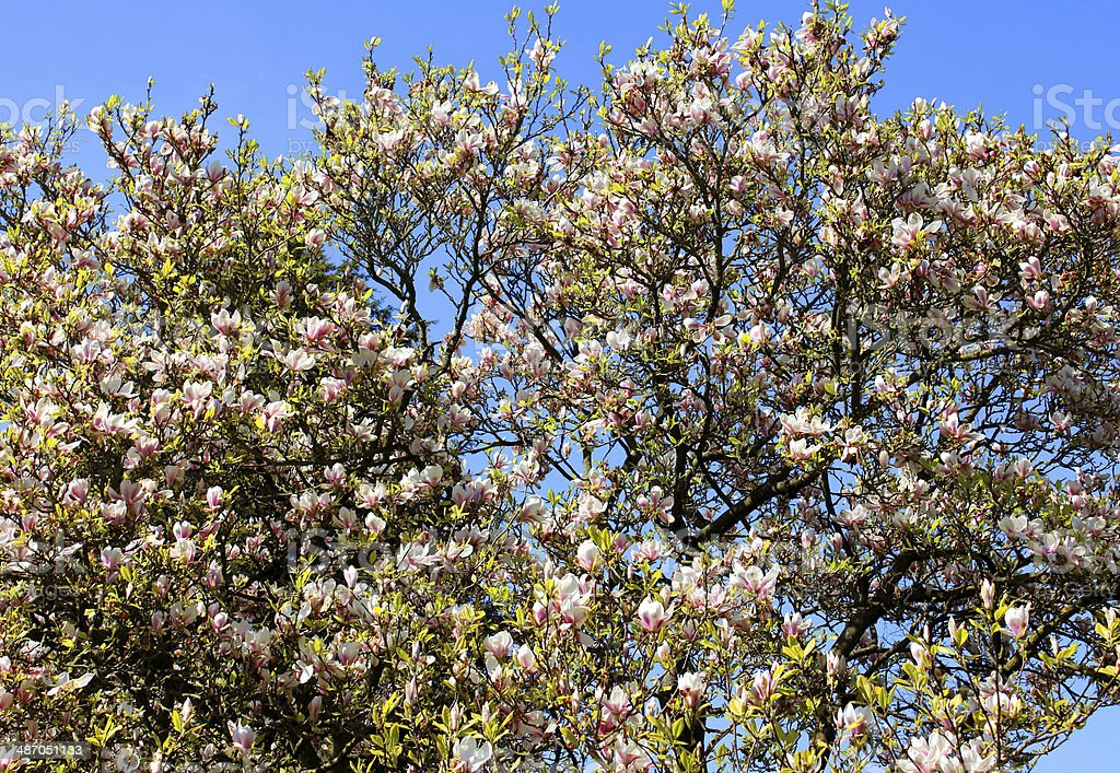 Image of magnolia tree and flowers against a blue sky stock photo