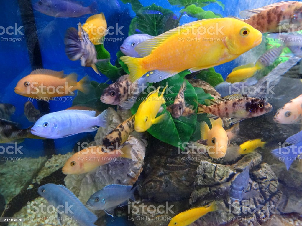 Image of Malawi cichlids school in tropical aquarium / fish tank stock photo