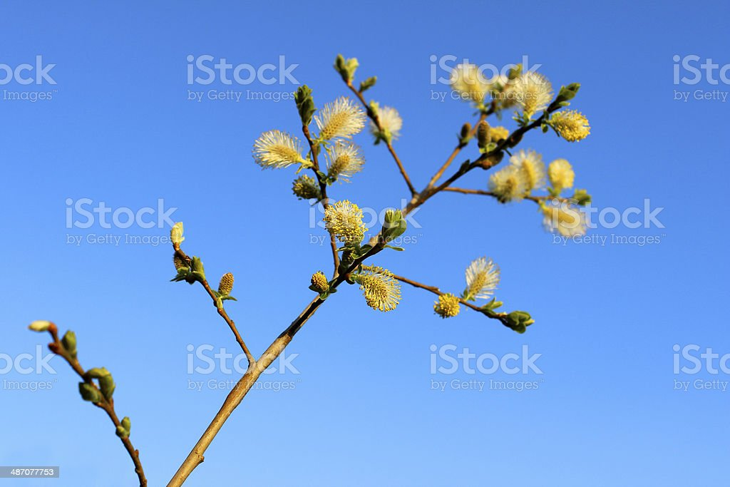 Image of male catkins of Salix caprea (goat willow) stock photo