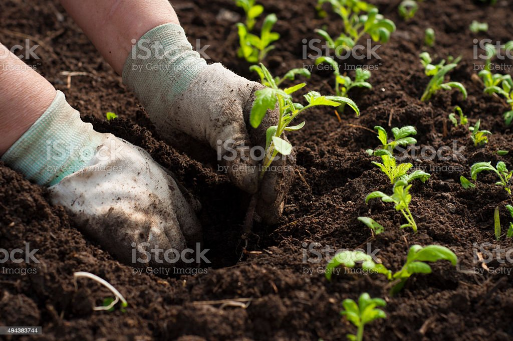 Image of male hands transplanting young plant stock photo