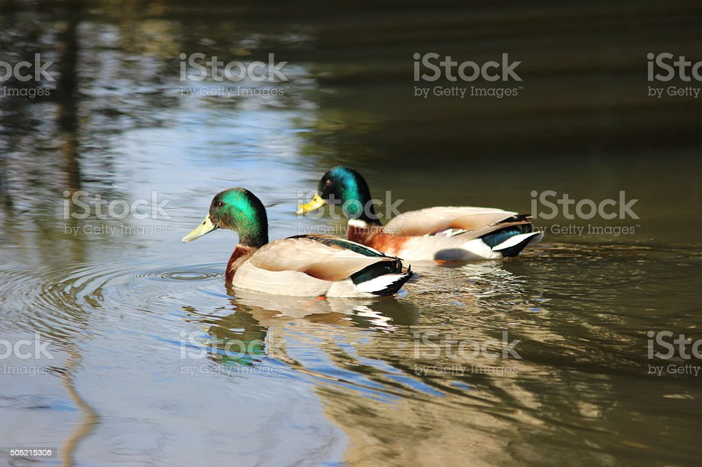 Image of male mallard duck swimming on river, with reflections stock photo