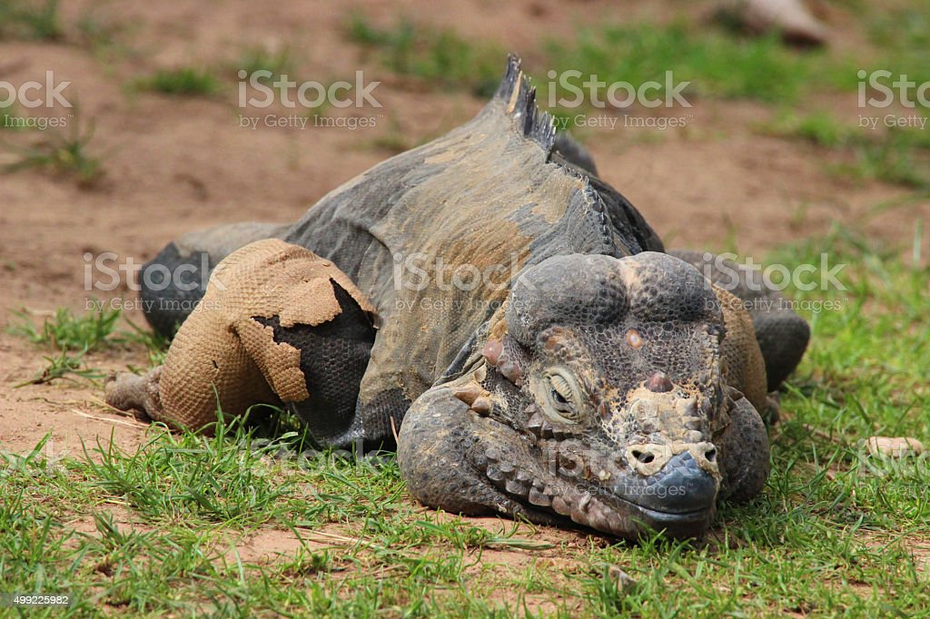 Image of male rhinoceros iguana (Cyclura cornuta) with shedding skin stock photo