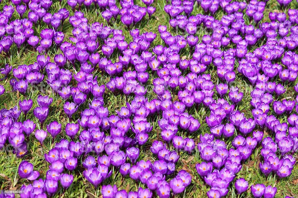Image of meadow full of spring flowering purple crocuses stock photo