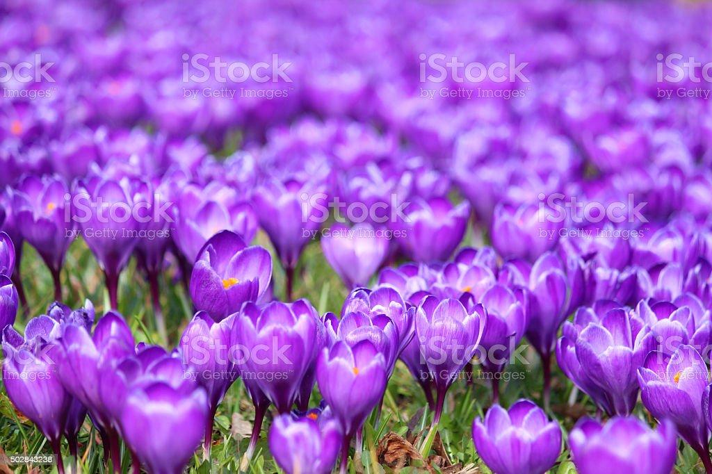 Image of meadow of flowering purple crocus blooms - spring sunshine stock photo
