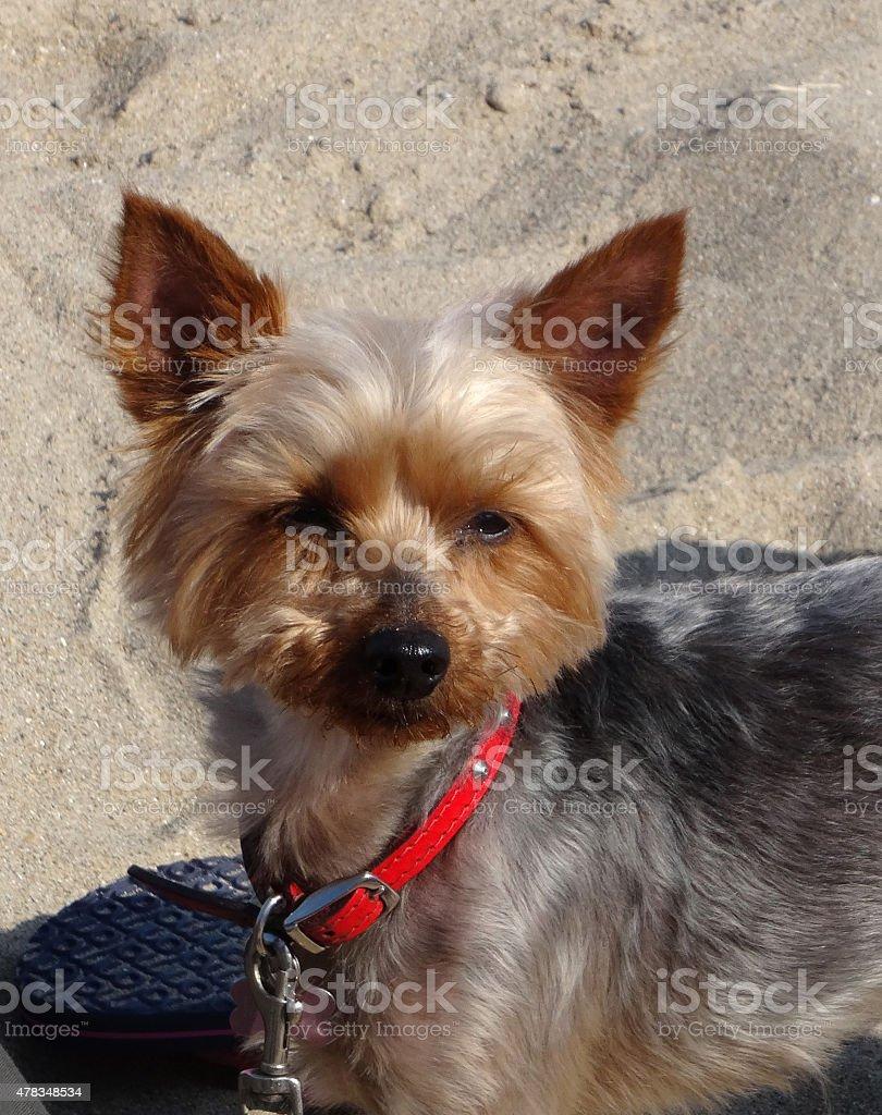 Image of miniature Yorkshire terrier dog on sandy beach (Yorkie) stock photo