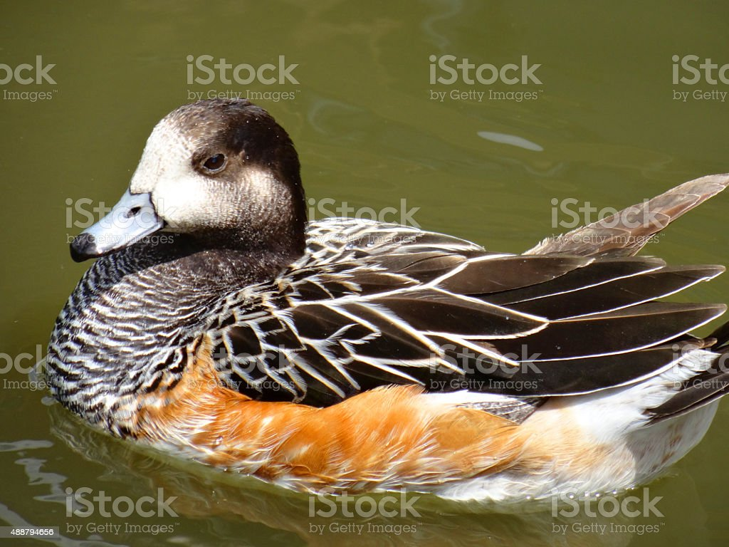 Image of multi-coloured brown widgeon duck swimming in river, patterned-feathers stock photo