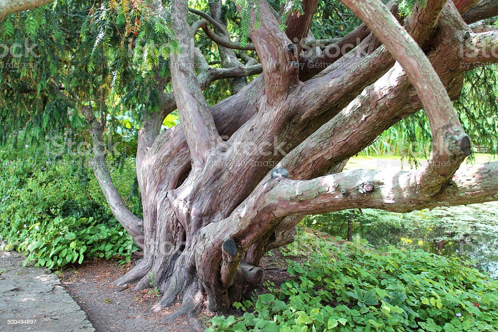 Image of multi-trunk Dovaston's yew tree buttress / Taxus baccata 'Dovastoniana' stock photo