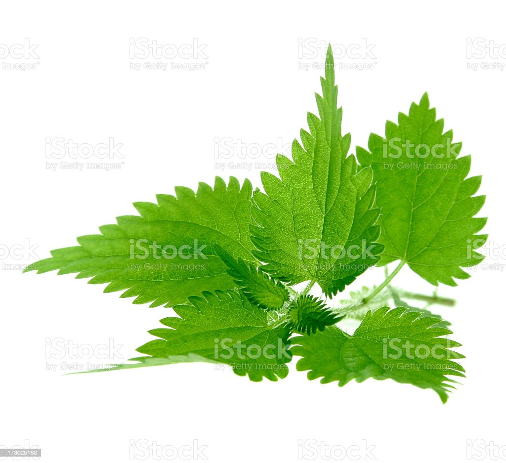 Image of nettle plant isolated on white background stock photo
