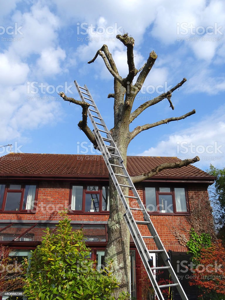 Image of oak tree with ladder / house, after being pruned stock photo