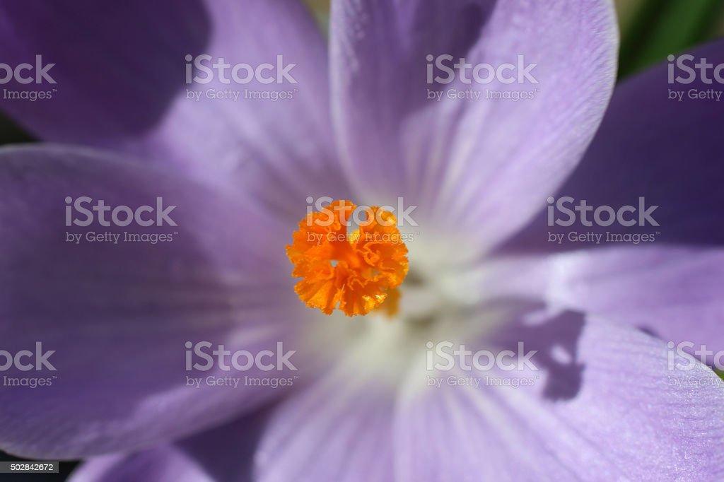 Image of orange stamen in purple-crocus petals - sunny close-up stock photo