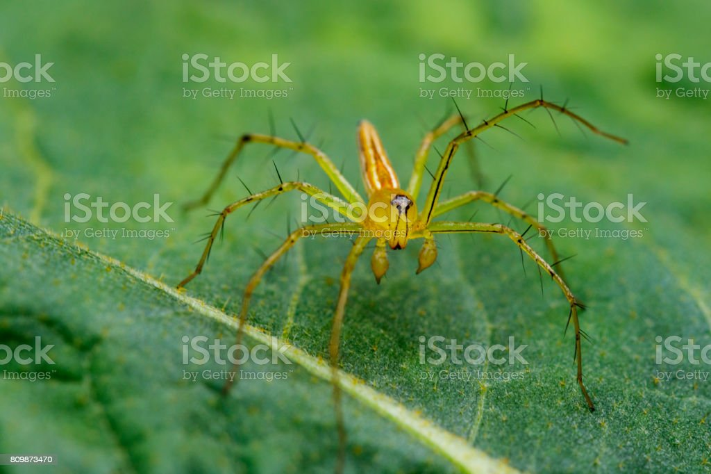 Image of Oxyopidae Spider on green leaves. Insect Animal