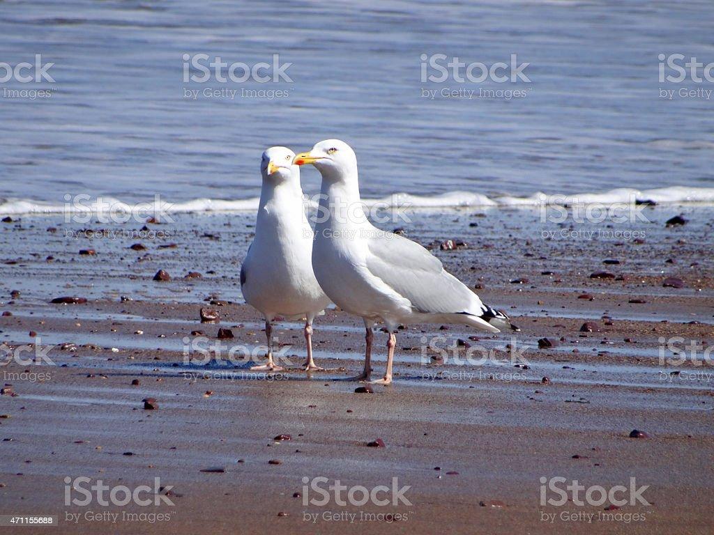 Image of pair of white herring gulls / seagulls on beach stock photo