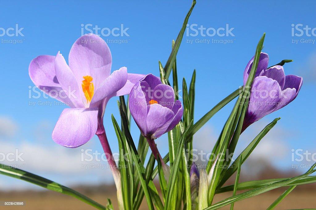 Image of pale-purple crocuses - yellow stamens against blue sky stock photo