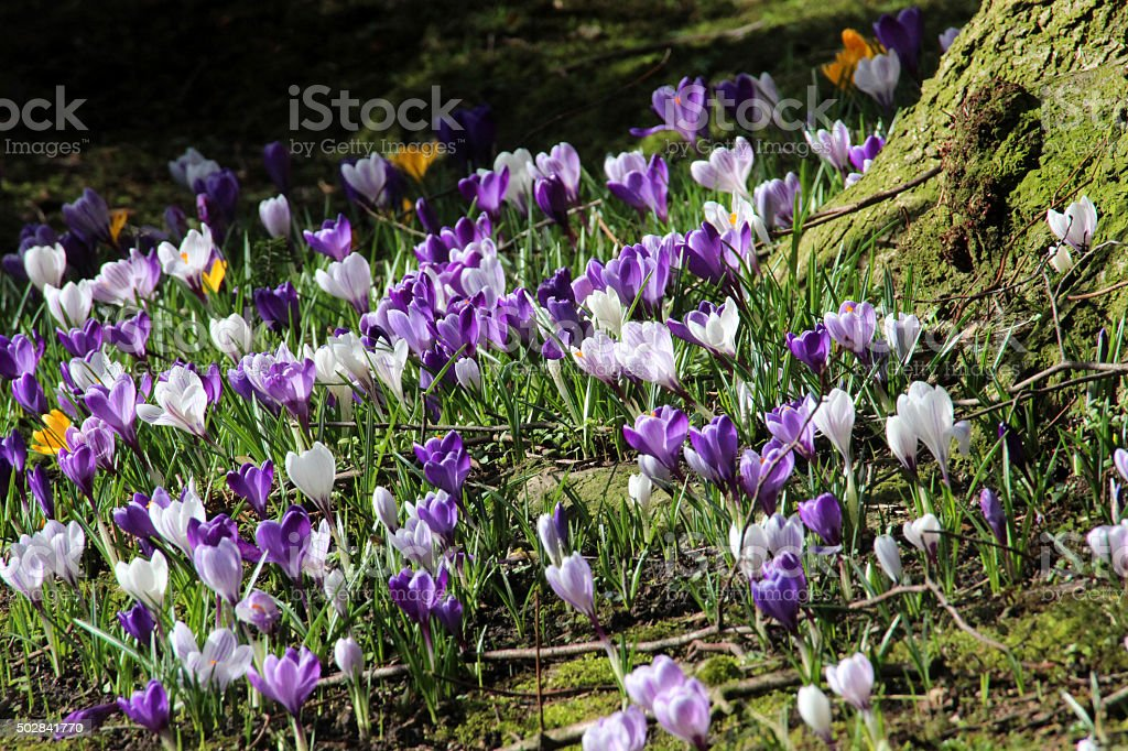 Image of parkland grass covered with purple and white crocuses stock photo