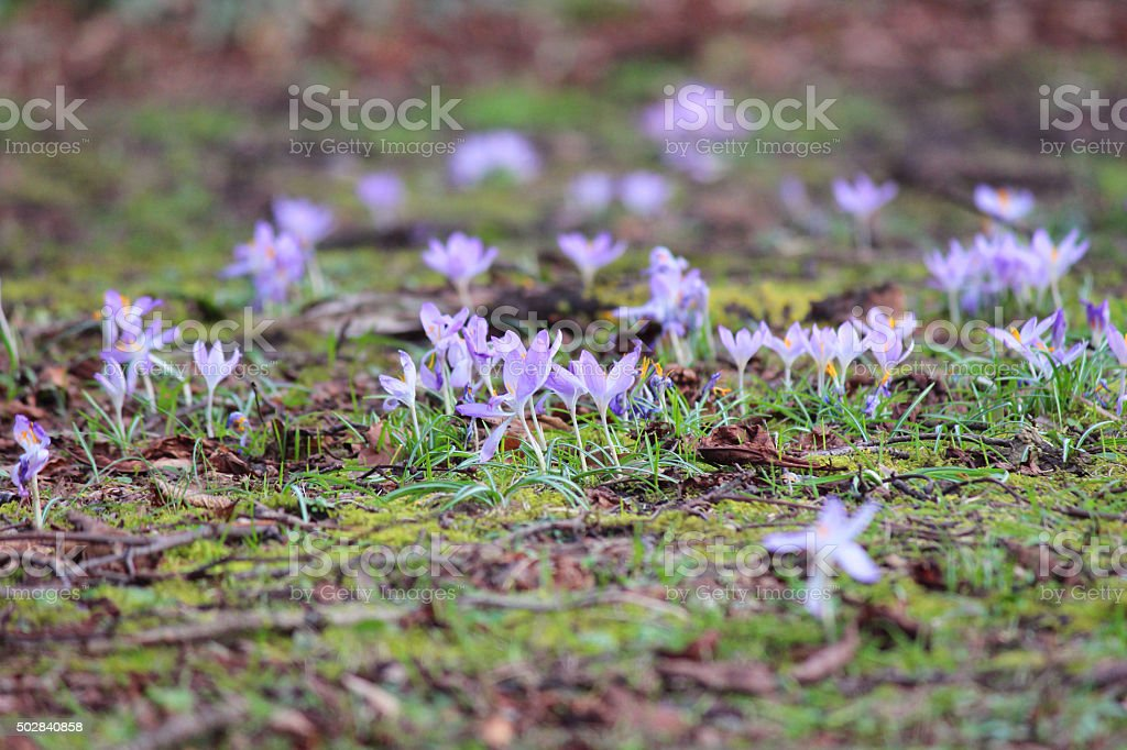 Image of pastel purple flowering crocuses - ground level perspective stock photo