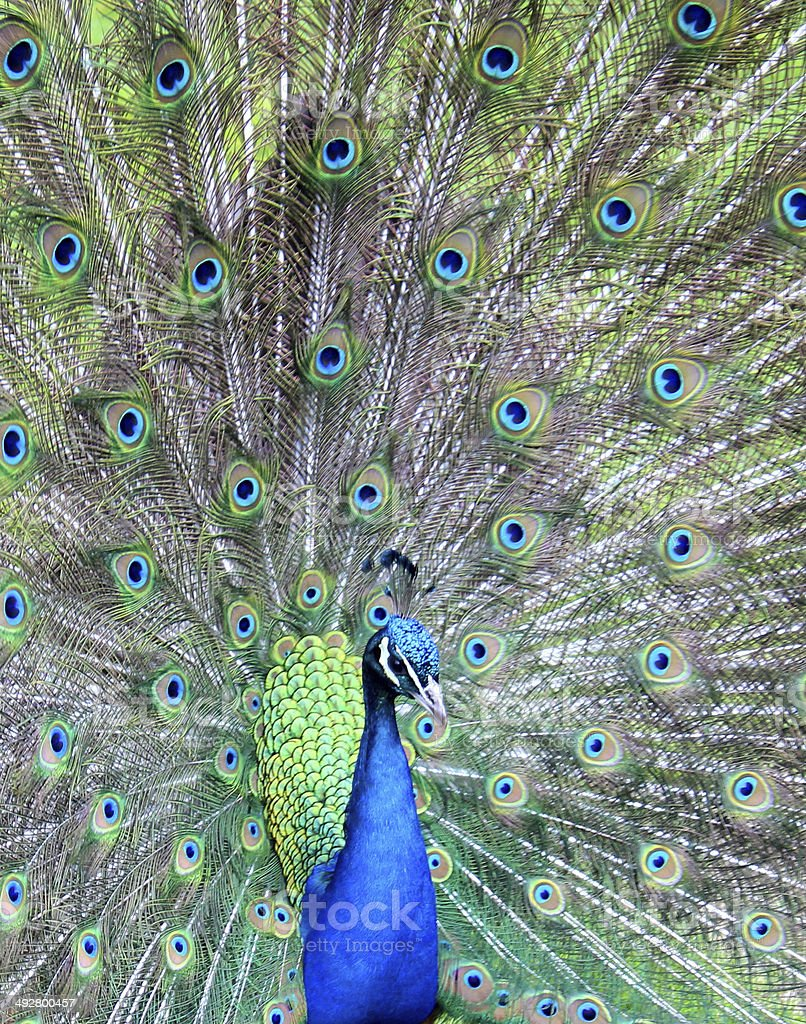 Image of peacock male bird showing off, displaying feather wheel royalty-free stock photo