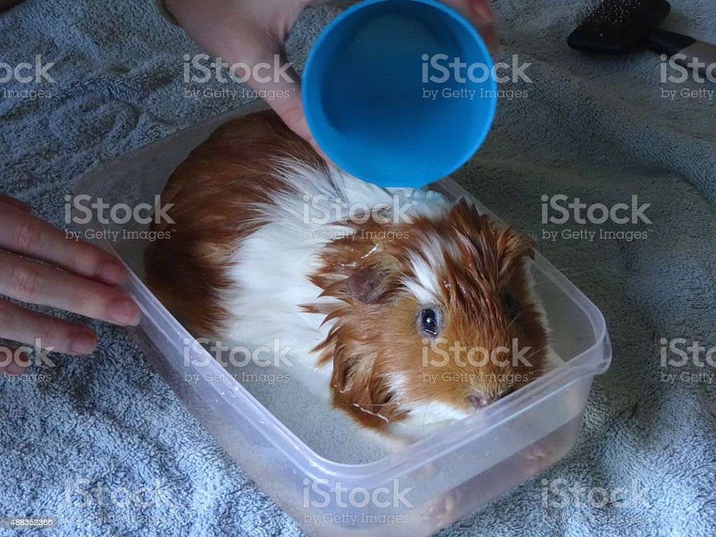 Image of pet guinea pig being washed / bathed with shampoo stock photo