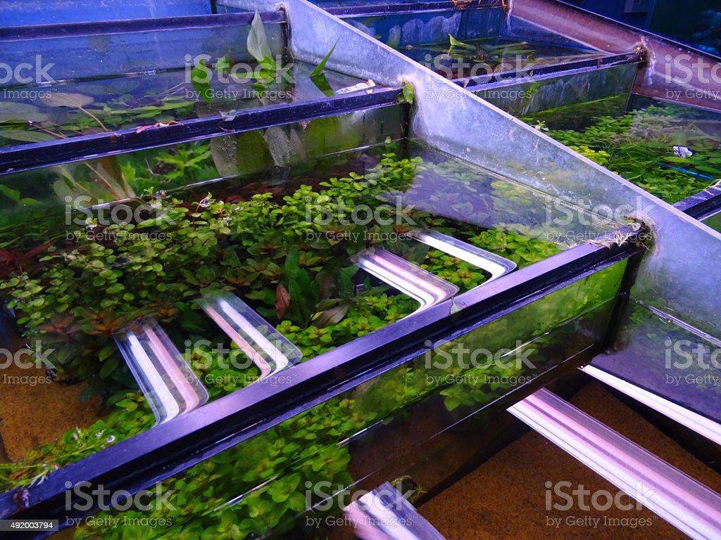 Image of pet shop growing green aquarium plants / glass fish-tanks stock photo