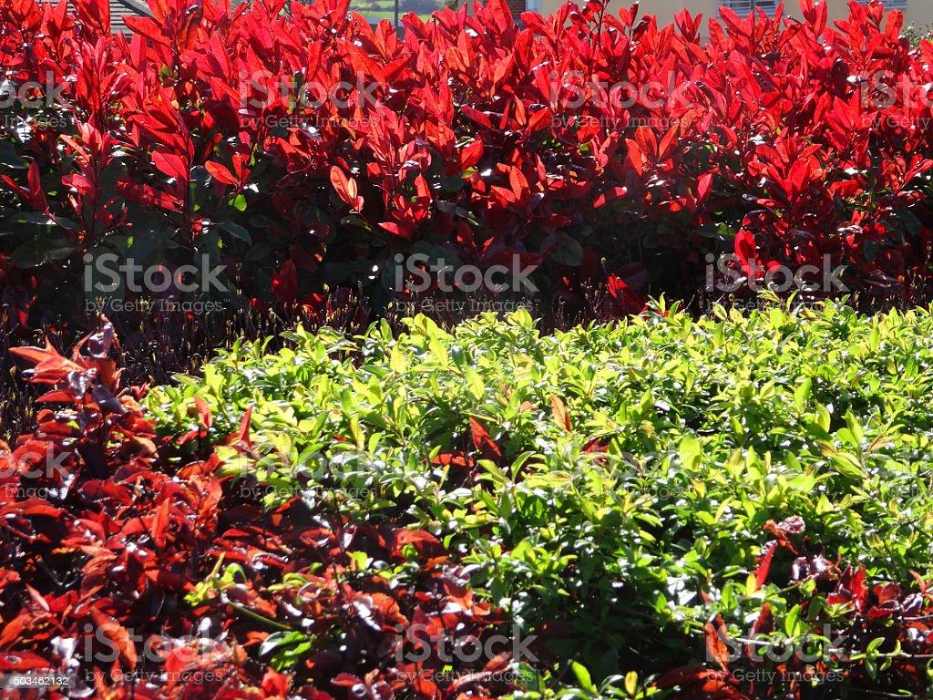Image of photinia x fraseri 'Red Robin' shoots in sunshine stock photo