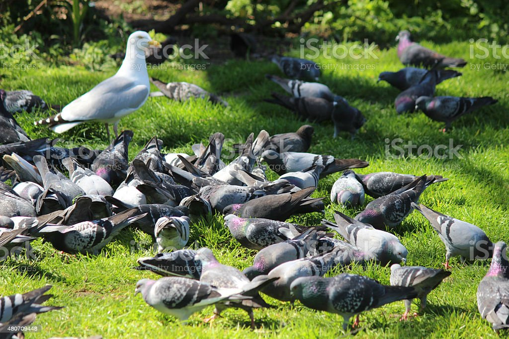 Image of pigeons eating seed on park grass, with seagull stock photo