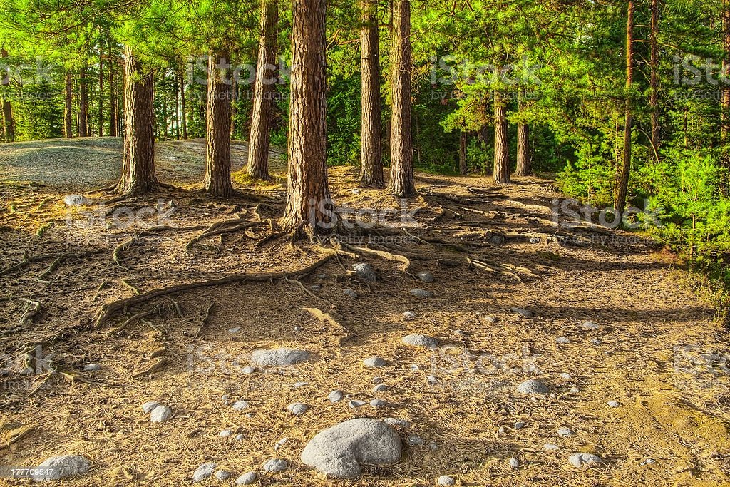 HDR image of pines on the rock. royalty-free stock photo