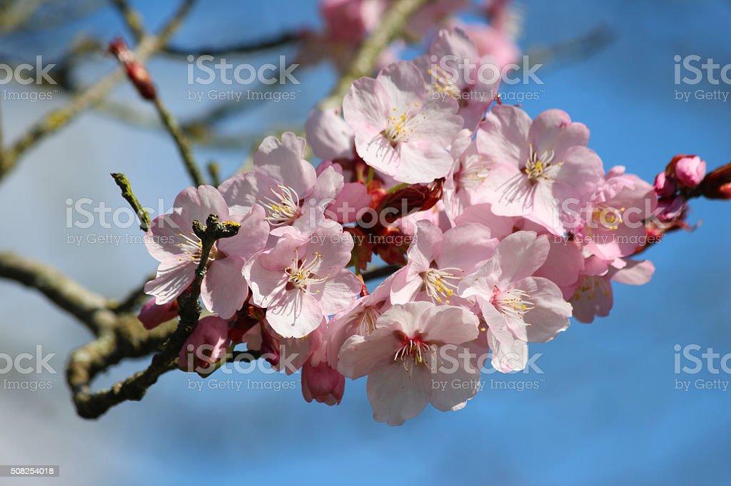 Image of pink cherry flowers on ornamental plum tree (Prunus-cerasifera) stock photo